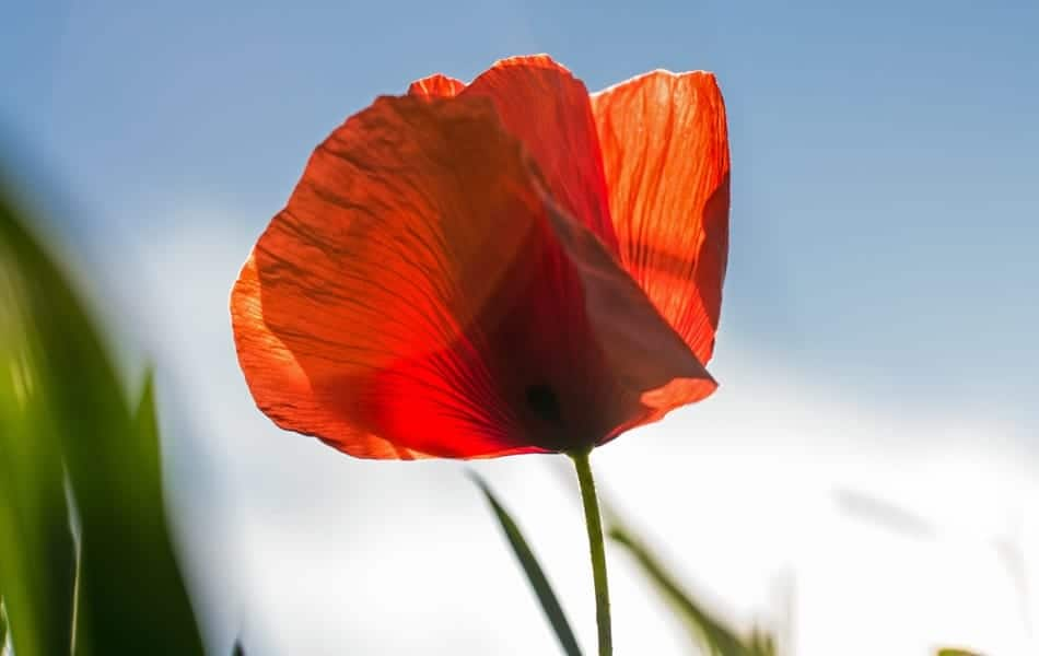 The rise of the poppy